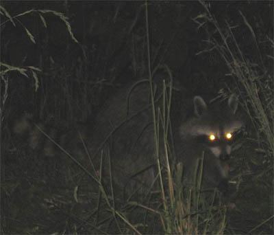 Eye shine on a raccoon