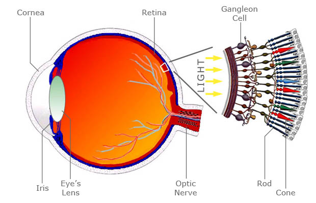 Figure 4: Anatomy of the human eye